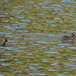 Zwergtaucher mit Jungvögeln / Foto: NABU Insel Usedom