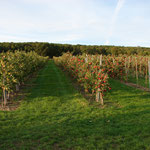 Apfelgarten außerhalb von Niederleis, direkt neben den Gleisen der Weinvierteldraisine.