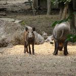Auch Wildschweine haben hier ihre Heimat.