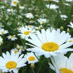 Gänseblumenfelder...