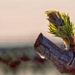Semaine 16 : La nature reprend ses droits et cette feuille de vigne accompagnée d'une larme de sève l'illustre parfaitement !