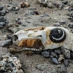 Semaine 11 : De loin on pourrait croire à un crane de vache dans le désert. Mais non, c'est bien un rejet de la mer sur une plage près de Montpellier. Un bidon en décomposition qui ressemble à s'y méprendre à un animal mort. La mer n'est pas une poubelle!