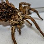 Semaine 43 : Un taxi arachnide bien bondé ...