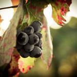 Semaine 45 : En cherchant bien on trouve encore quelques raisins, mais la couleur des feuilles nous dirige droit vers la fraîcheur hivernale !...