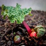 Semaine 12 : La nature reprend le dessus, et notre rhubarbe se rappelle à notre bon souvenir ... MIAM !