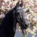 Kirschblüte im Marchfeld - der Oldie Gjalt von Regina Fabian