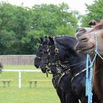 Kamelfest in Schloß Hof - ganz auf einer Linie!