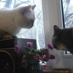 Британочка Анфиса у кота в гостях.
