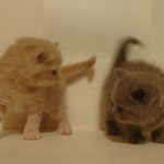 Это котята Анфисы на продажу 17.12.2012г.