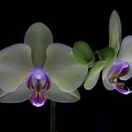 Orchidee im Makrostudio, Canon EOS 300D, Yashinon 1:2,0/50 mm
