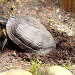 unsere Schildkröte bei der Eiablage, Canon EOS 500D, Canon EF 1:4/70-200 mm L