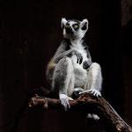 Lemur, Canon EOS 500D, Canon EF 1:4/70-200 mm, Mit freundlicher Genehmigung vom  Tropen-Aquarium Hagenbeck