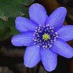 Leberblümchen im Garten, Canon EOS 300D, Noflexar 1:4/105 mm am Balgengerät
