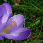 Krokus im Garten, Canon EOS 300D, Noflexar 1:4/105 mm am Balgengerät