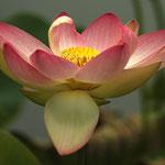 Lotusblüte im Arboretum, Canon EOS 500D, Tair 3S, 1:4,5/300mm