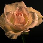 Rose im Makrostudio, Canon EOS 300D, Yashinon 1:2,0/50 mm