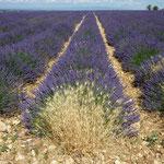 Lavendelfeld auf dem Plateau gegenüber der Gorge Schlucht