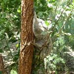 Koala im Zoo