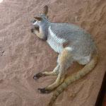 Ein Kangaroo im Sydney Zoo.