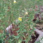 Nachtkerze. Öffnet ihre Blüten am Abend. Hochwertigstes Öl: Nachkerzenöl - Kosmetische Anwendungen
