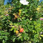 Wilde Rose - bereits mit Hagebutte (Früchte der Rose): vereint Venus- & mars-Prinzip, d.h. stärkt die Mitte, stärkt unser Ich-Gefühl, unser Immunsystem, uv.m.