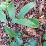 Salomonsiegel - Zauberpflanze