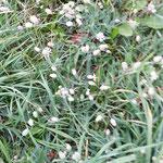 Taubenkropfleimkraut: Seifige Pflanze, d.h. Schleimlösend, ausleitend. Auch als Gemüsepflanze einsetzbar.