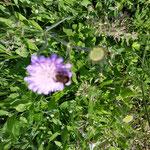 Witwenblume mit Biene