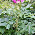Wilde Rose: vereint Venus- und Marsprinzip, für Kosmetikanwendungen, Blütenwasser, Tee, Bad, Kräuterkissen.