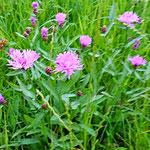 Wiesenflockenblume: enthält Phytohormone - für alle Stadien des Frau-Seins. Idalerweise eine Alkohol-Tinktur ansetzen (4-5 Wo. ausziehen lassen) . Greift nicht störend in den Hormonzyklus ein.