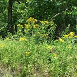 Johanniskraut - Sonnwendkraut. Kräuterbuschen. Öl ansetzen (Blüten in Öl, wird blutrot):  Massageöl, Wundöl, Narbenöl