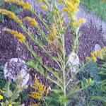 Kanadische Goldrute: Nierenpflanze (jedoch nicht ganz so heilkräftig wie die Echte Goldrute). Anwendung z.B. bei Harnwegsinfekt als Sitzbad-Tee.
