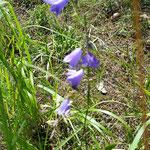 Glockenblume: Wichtig für die Energie des Wiese. schon sehr selten-