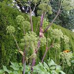 Echte Engelwurz - Welch königliche Pflanze!!