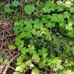Wald-Sauerklee. Enthält Oxalsäure. Sehr erfrischend beim Wandern. Nicht zu viel auf einmal essen.