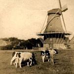 Grazende koeien bij de molen David. De huizen staan langs de Bovenweg. Vermoedelijk jaren-30.