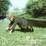 Gertje Booy plukt onkruid in de koolplantenbaan. Hier worden plantjes gekweekt die later op de akker worden uitgezet.