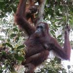 Erste Orangutans