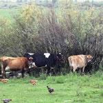 Die Viehcher suchen Schutz unter Sträuchern und Dächern