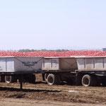 Im Land der Tomaten - Nähe Dixon