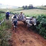 Maschinen in der Landwirtschaft? Ochsen sind günstiger und in schwierigem Gelände besser...