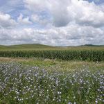 Maisfelder ziehen sich über die Hügel