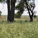 Bisons - die schwarzen Punkte links und rechts vom Baum
