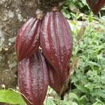 Wilder Cacao am Strassenrand