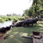 Wasserbüffel auf der Durchreise