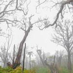 Der durch die phreatische Eruption 2006 zerstörte Wald auf dem Gipfelplateau.