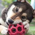 柴犬(中型犬)