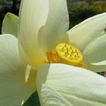 Nelumbo lutea - američki lotus