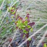 Euphorbia amygdaloides Atropurpurea raste među vlatima Stipe tenuissime.