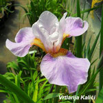 Iris Sibtosa Queen
